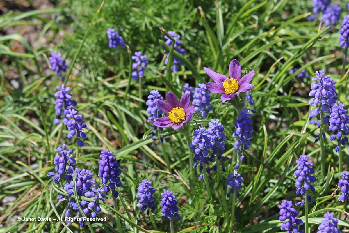 Muscari armeniacum & Pulsatilla vulgaris-Alpinum-Montreal Botanical