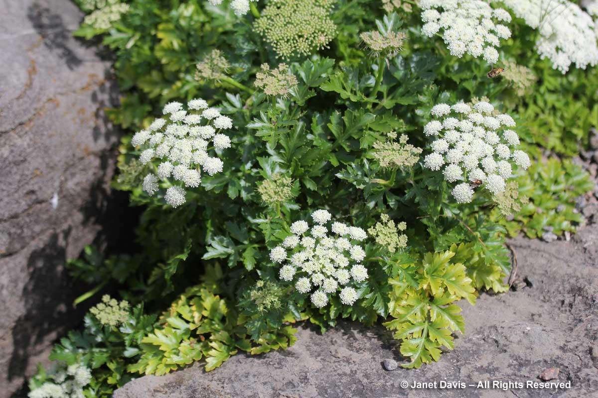 Peucedanum japonicum-coastal hogfennel