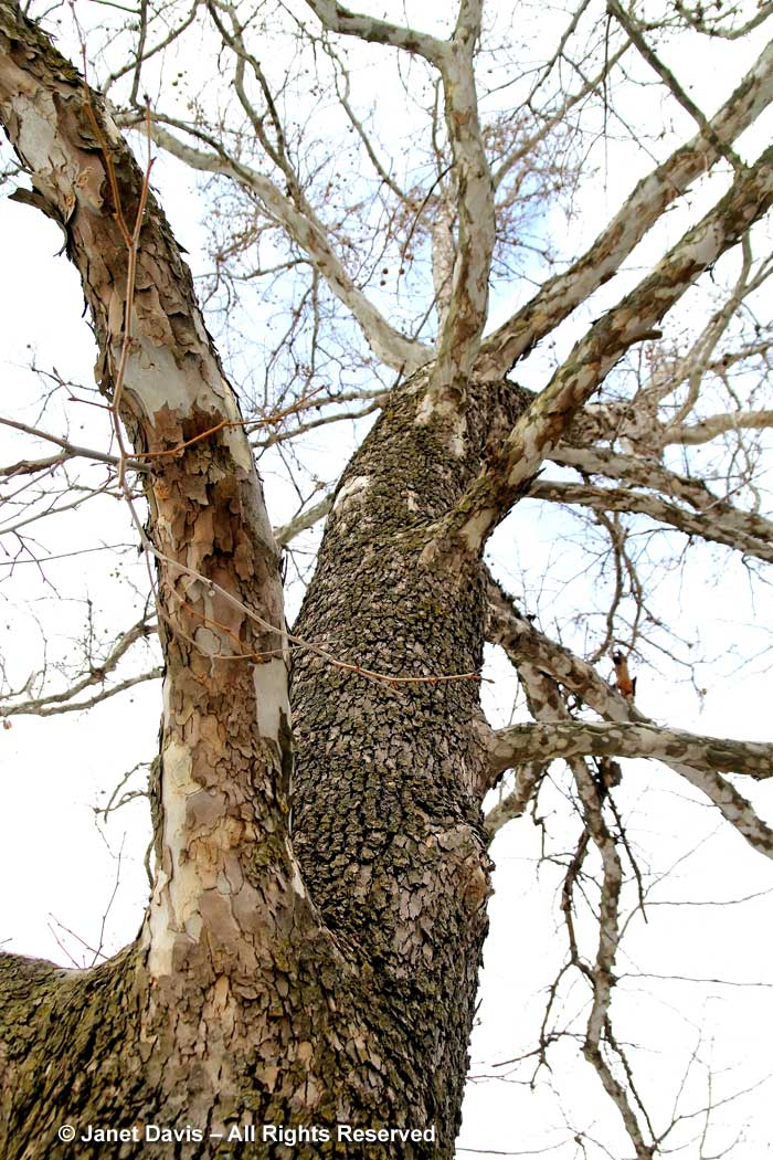 Platanus occidentalis-American sycamore-winter bark-trunk