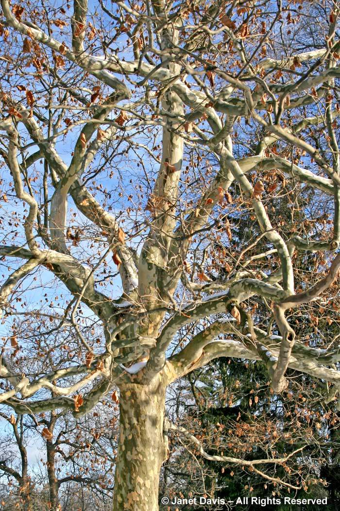 Platanus x acerifolia-London plane-winter