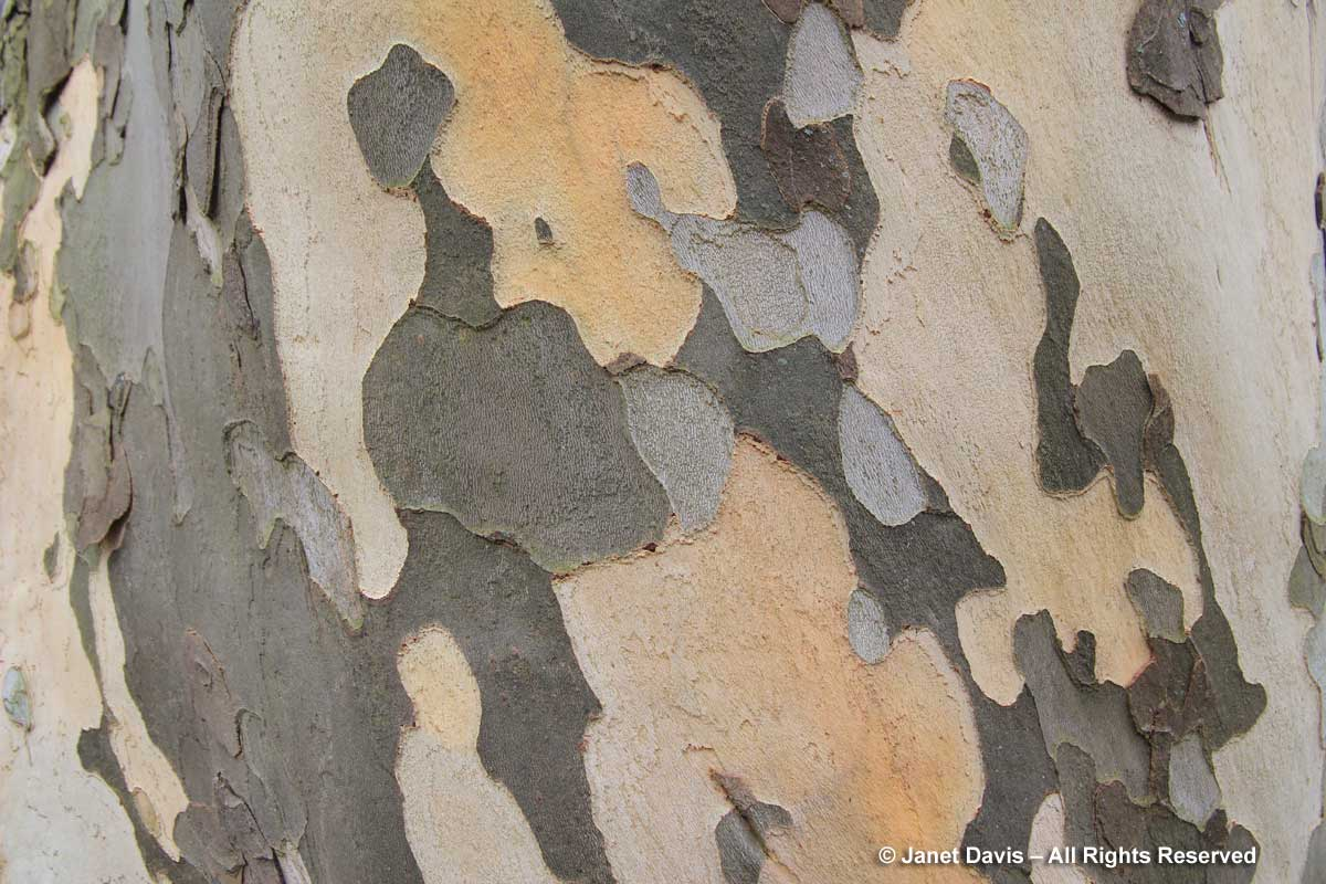 Platanus x acerifolia bark-London plane-close-up