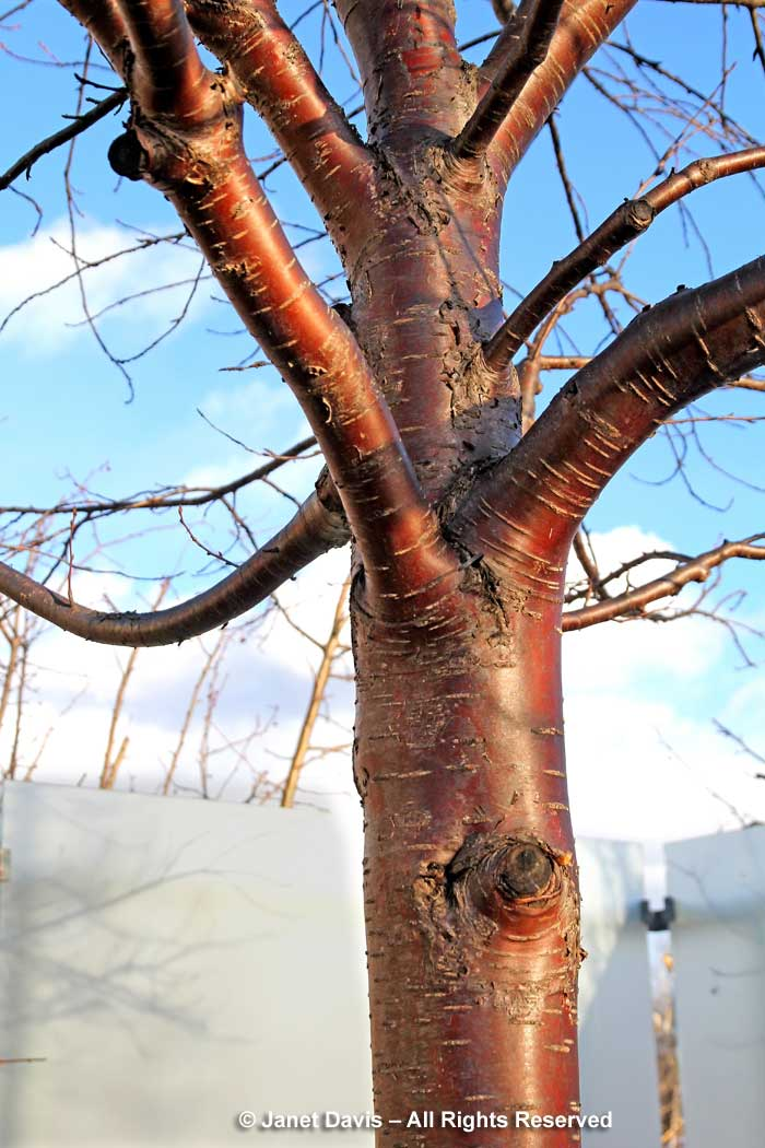 Prunus maackii-Amur cherry-winter-bark-trunk