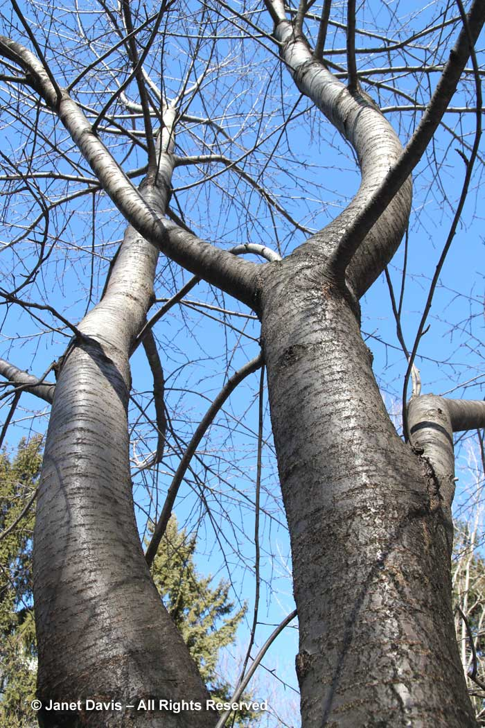 Prunus serrulata 'Shogetsu'-Japanese cherry-winter bark-trunk
