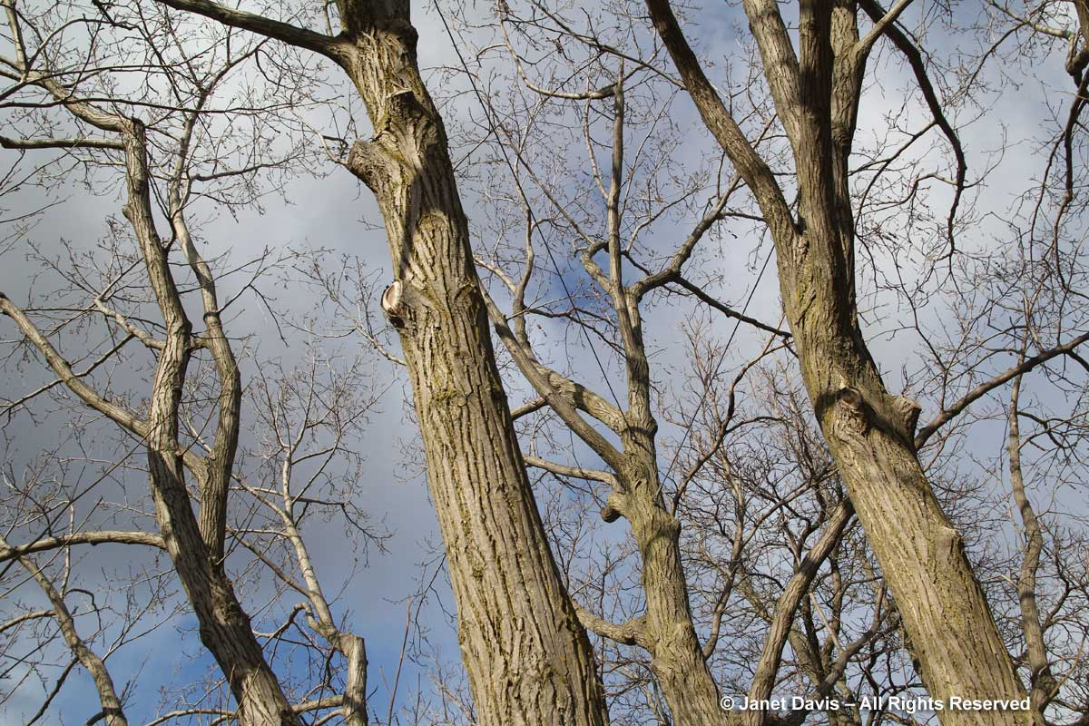 Pterocarya fraxinifolia-Caucasian wingnut-winter bark