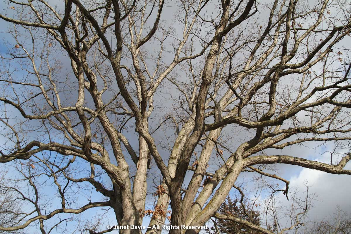 Quercus alba-white oak-winter-canopy-bark