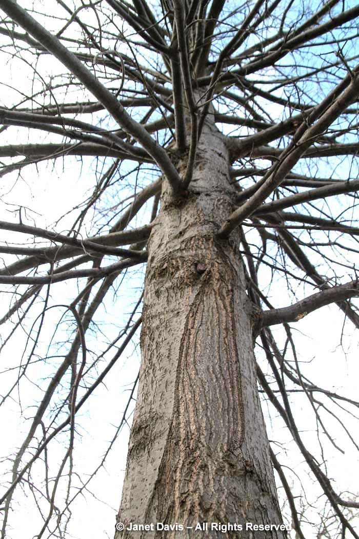 Quercus palustris-pin oak-winter bark-trunk