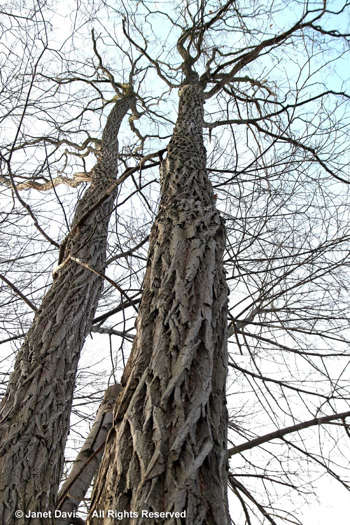Robinia pseudoacacia-Black locust-winter-trunk