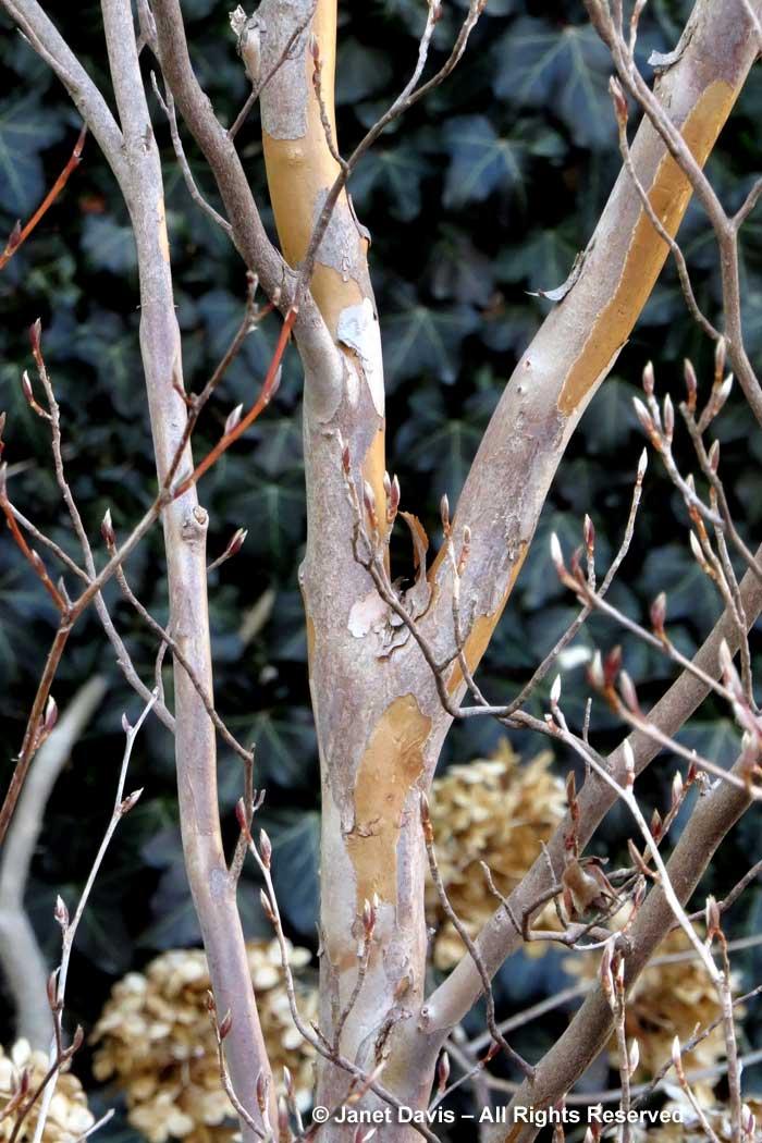 Stewartia pseudocamellia-winter bark