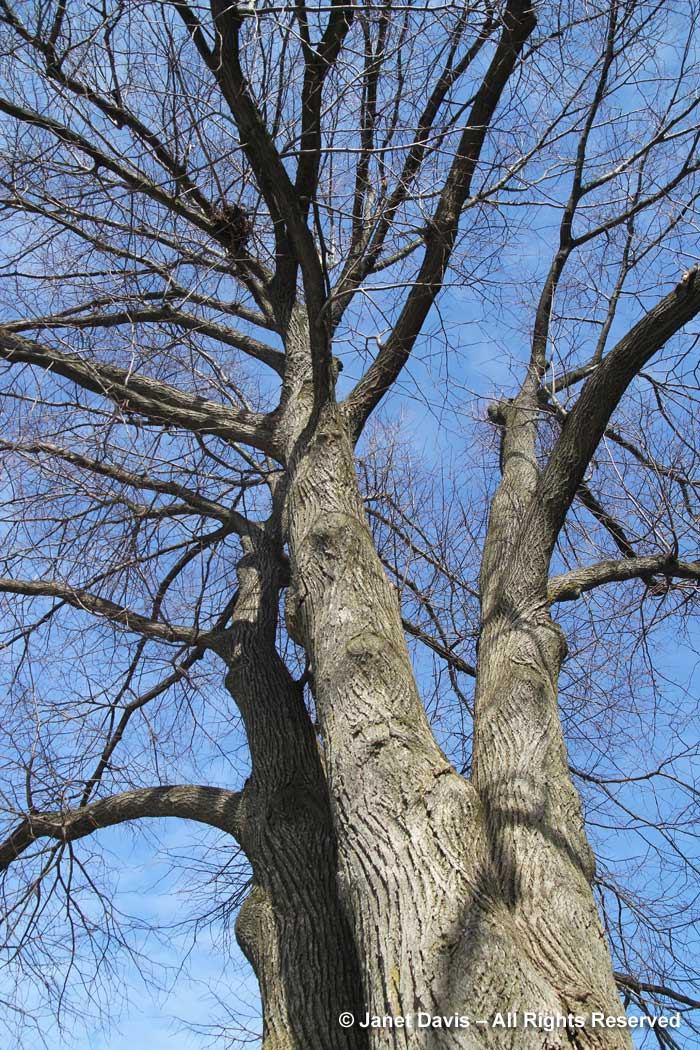 Tilia cordata-Littleleaf linden-winter-bark