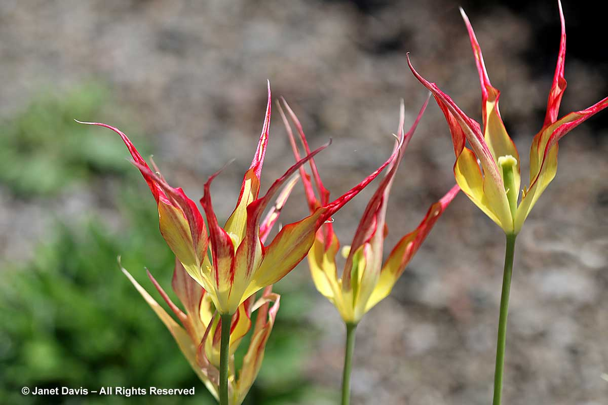 Tulipa gesneriana 'Cornuta'-horned tulip