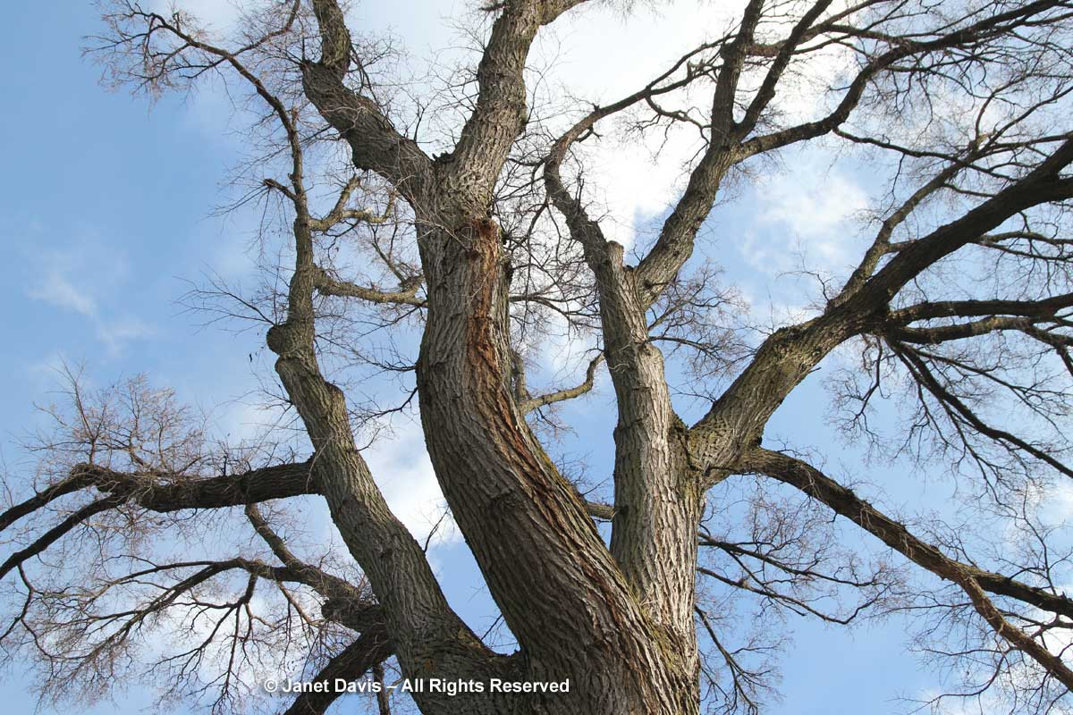 Ulmus americana-American elm-winter-bark-trunk