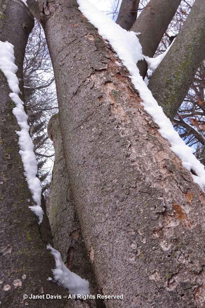 Zelkova serrata-winter-bark-trunk