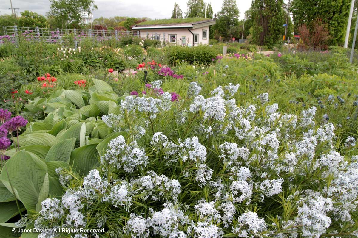 Amsonia hubrichtii-Piet Oudolf Border-Toronto Botanical Garden