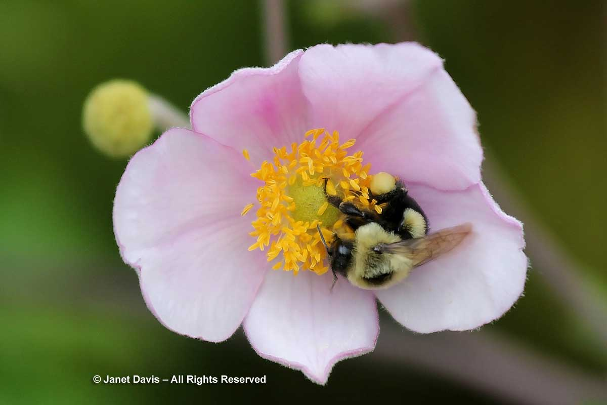 Anemone 'Robustissima' and bumble bee
