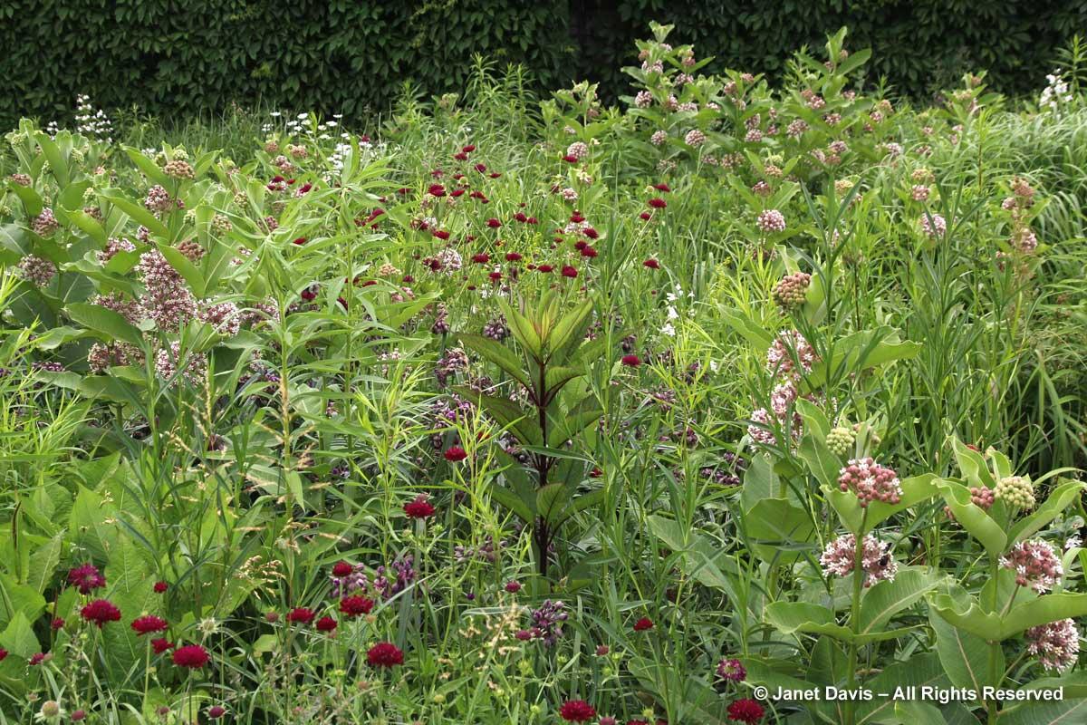 Asclepias syriaca-common milkweed-Piet Oudolf border-Toronto Botanical Garden