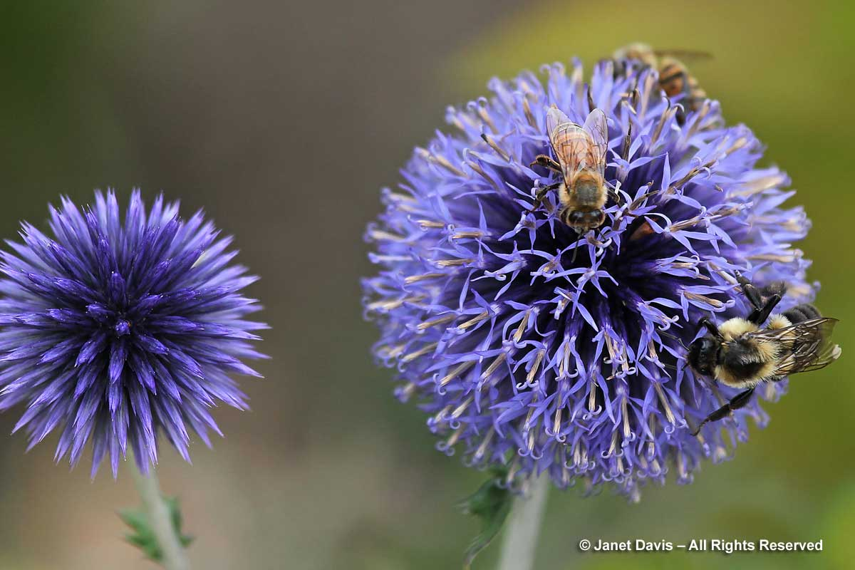 Bees on Echinops ritro 'Veitch's Blue'