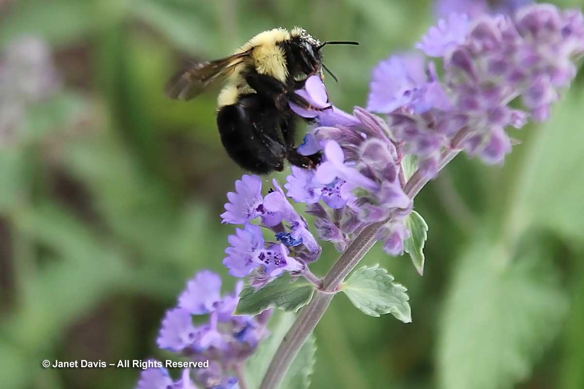 Bumble bee on Nepeta racemosa 'Walker's Low'