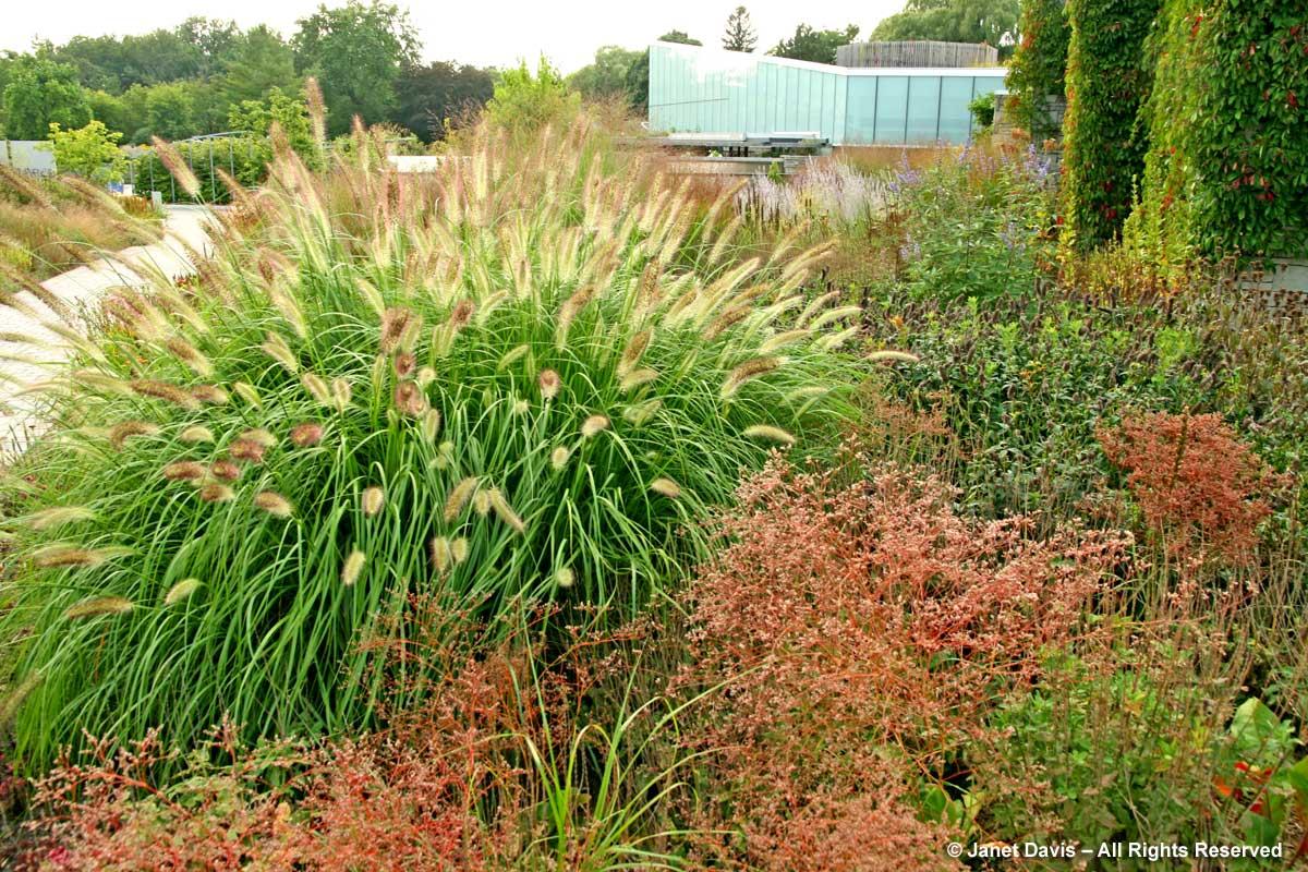 Cassian Schmidt-Pennisetum alopecuroides 'Cassian' & Limonium latifolium-Toronto Botanical Garden