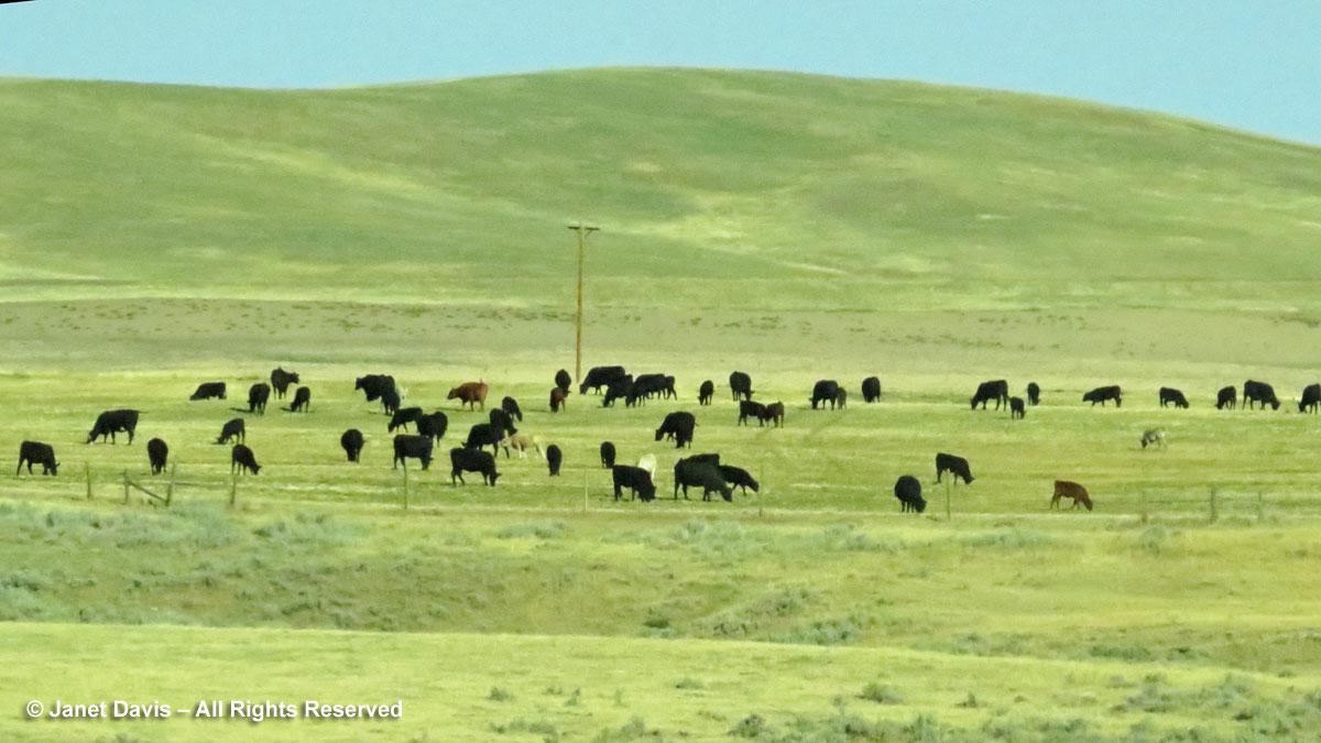 Cattle near Ranchester