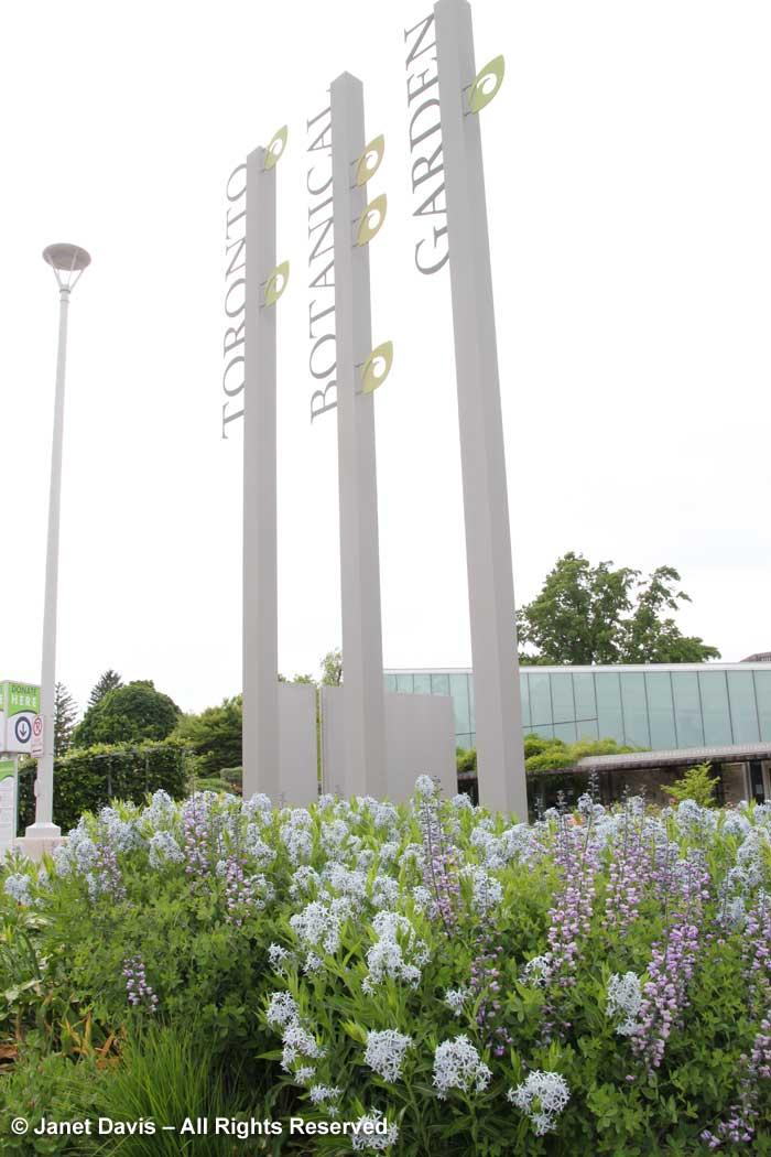 Design-Amsonia tabernaemontana var. salicifolia & Baptisia 'Purple Smoke'-Piet Oudolf border-Toronto Botanical Garden