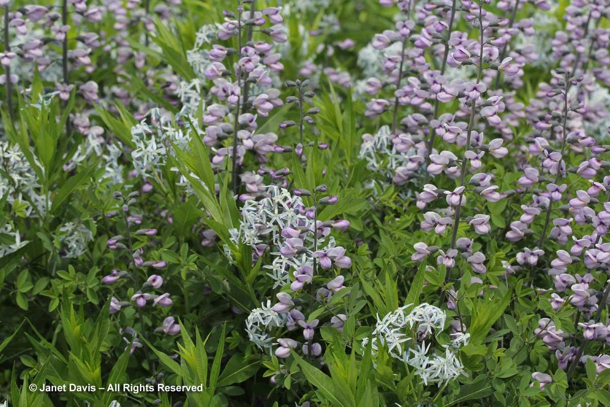 Design-Amsonia tabernaemontana var. salicifolia & Baptisia 'Purple Smoke'2-Piet Oudolf border-Toronto Botanical Garden