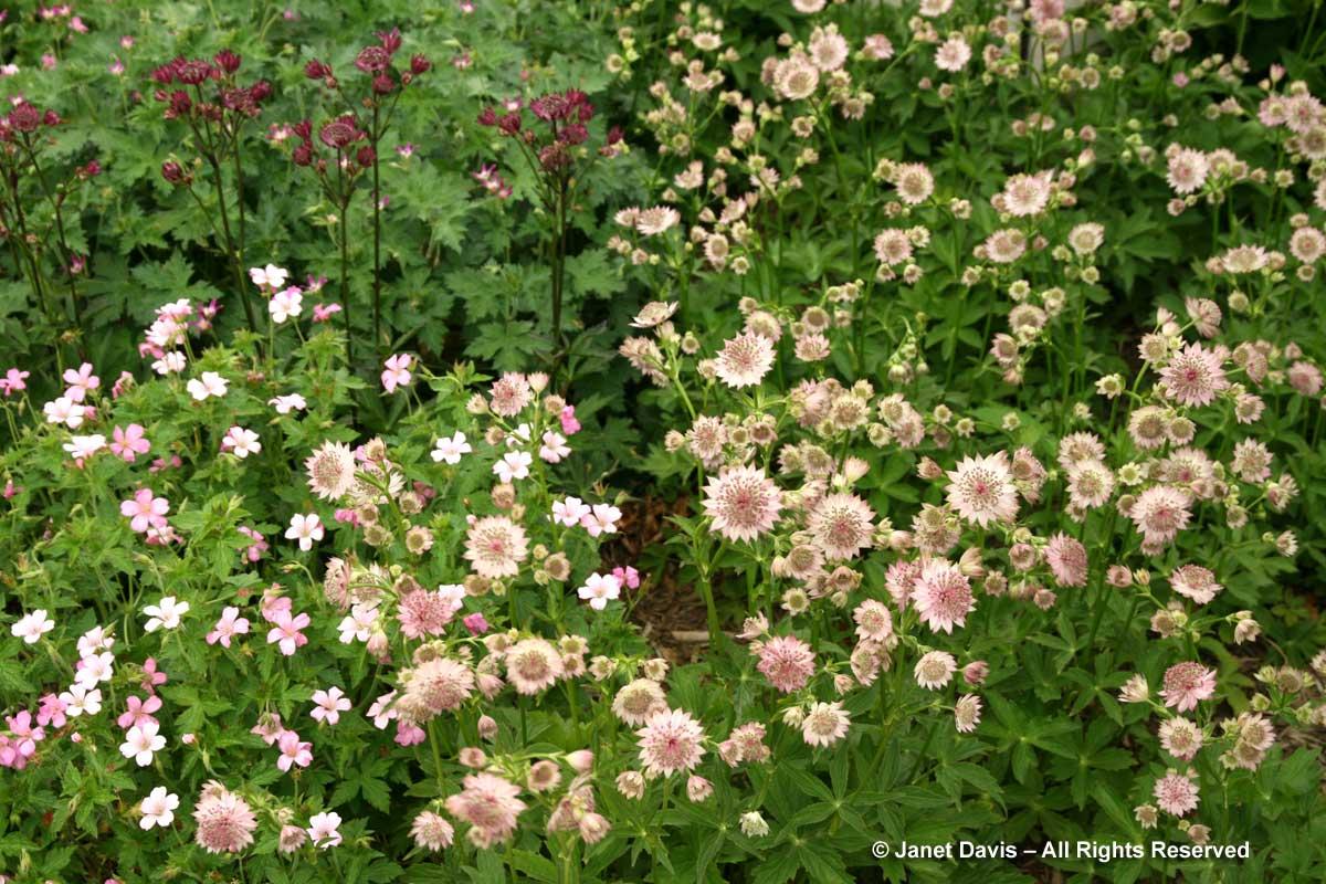 Design-Astrantia 'Roma' & Geranium x oxonianum 'Rose Clair'-Piet Oudolf border-Toronto Botanical Garden