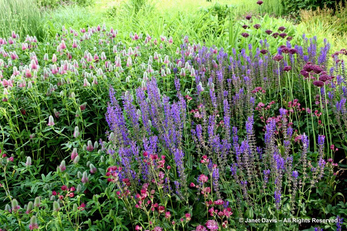 Design-Astrantia major 'Claret' & Salvia nemorosa 'Mainacht'-Piet Oudolf border-Toronto Botanical Garden