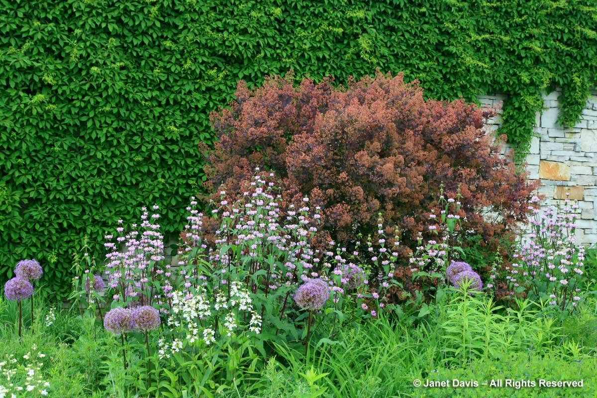 Design-Cotinus coggygria 'Royal Purple' & Phlomis 'Amazone-Piet Oudolf design-Toronto Botanical Garden