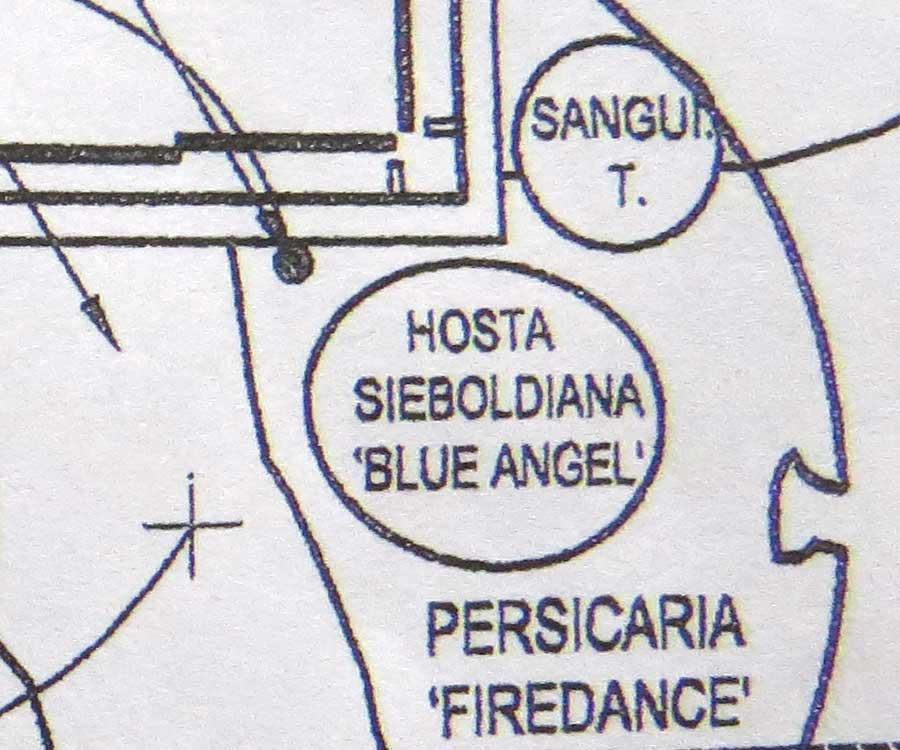 Design-Hosta sieboldiana 'Blue Angel' & Persicaria 'Firedance' - Piet Oudolf Design-Toronto Botanical Garden