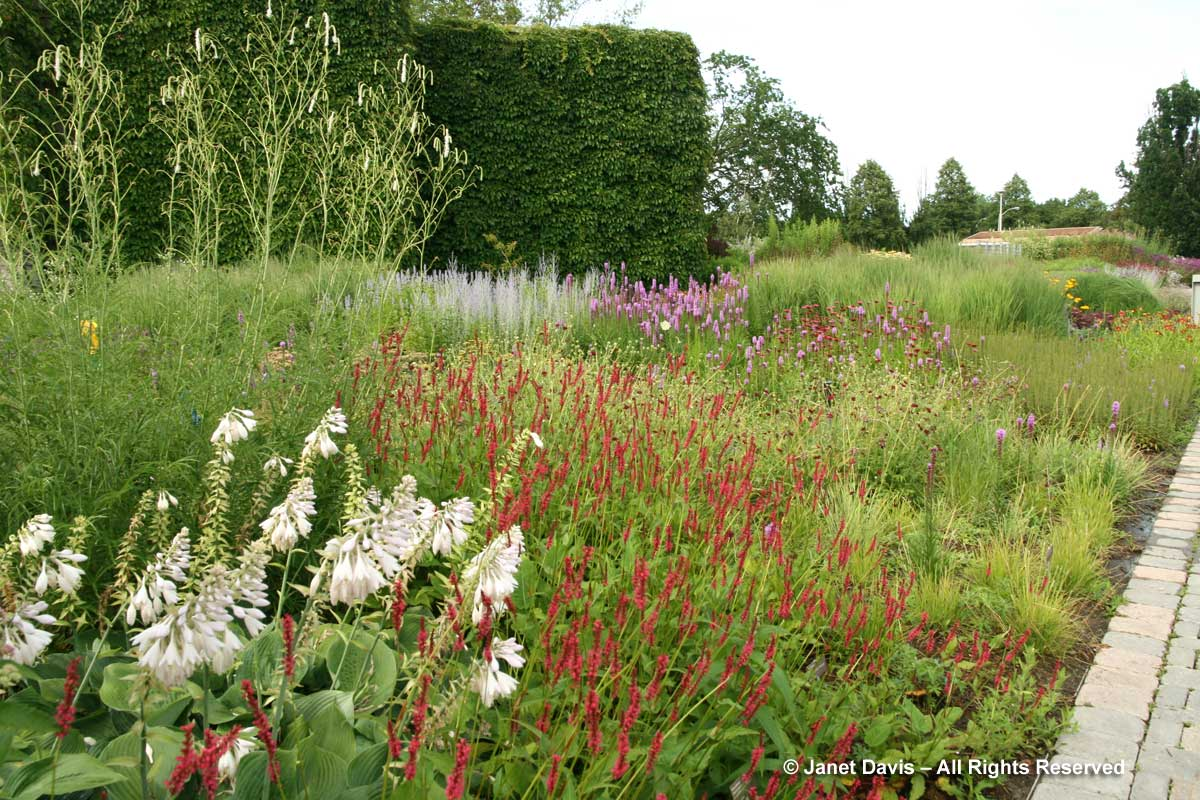 Design-Hosta sieboldiana 'Blue Angel' & Persicaria 'Firedance'-Piet Oudolf border-Toronto Botanical Garden