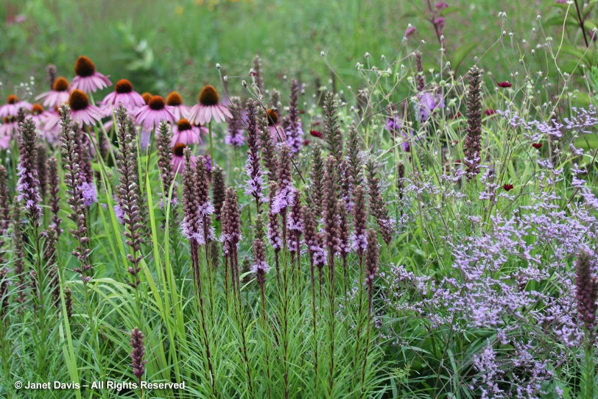Design-Limonium latifolium & Liatris spicata-Piet Oudolf garden-Toronto Botanical Garden (1)