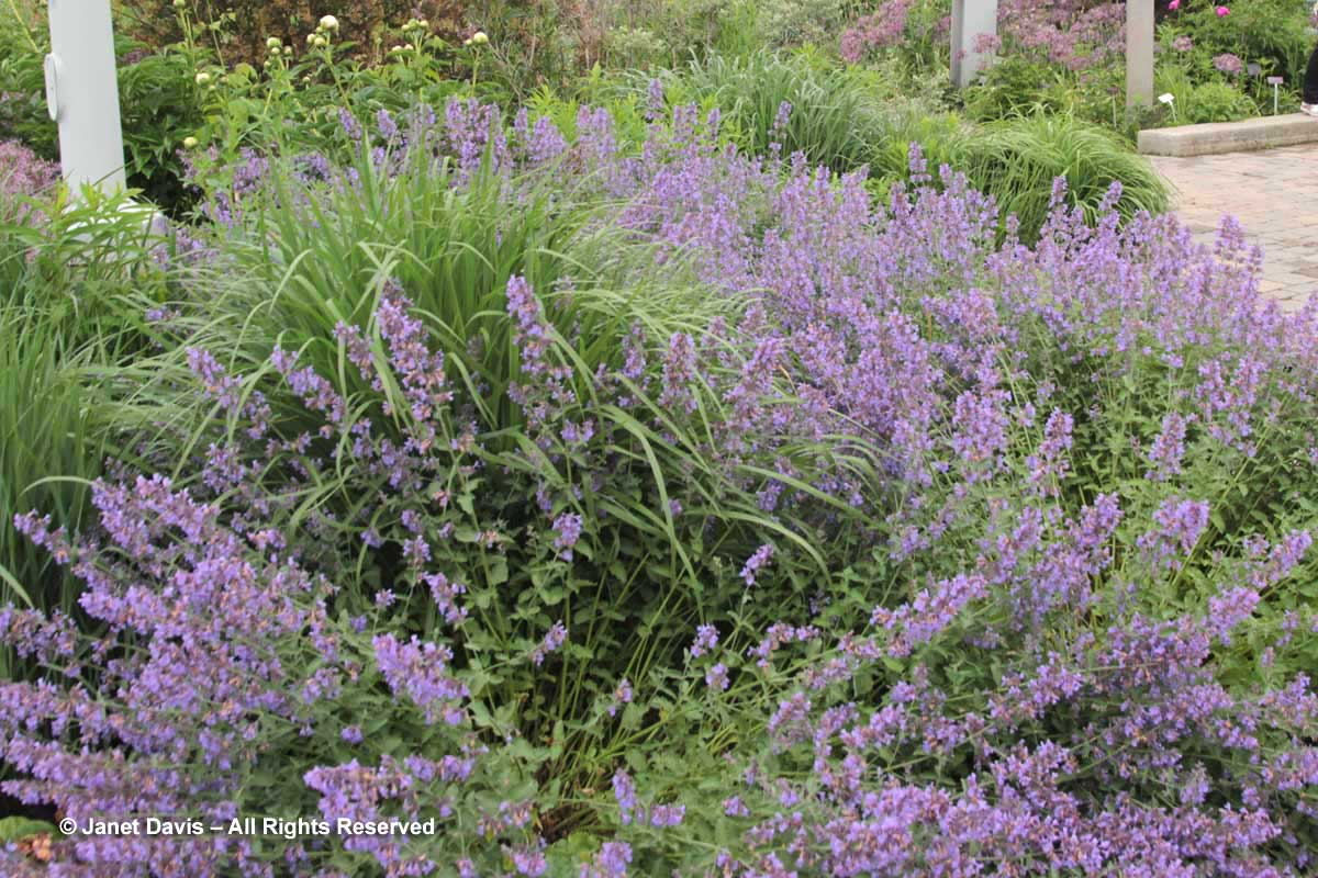Nepeta racemosa 'Walker's Low' & Panicum virgatum 'Cloud Nine'-Piet Oudolf Border-Toronto Botanical Garden