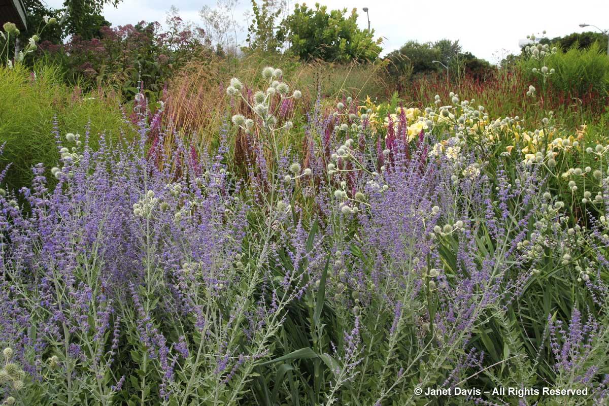 Design-Perovskia 'Little Spire' & Eryngium yuccifolium-Piet Oudolf Entry border