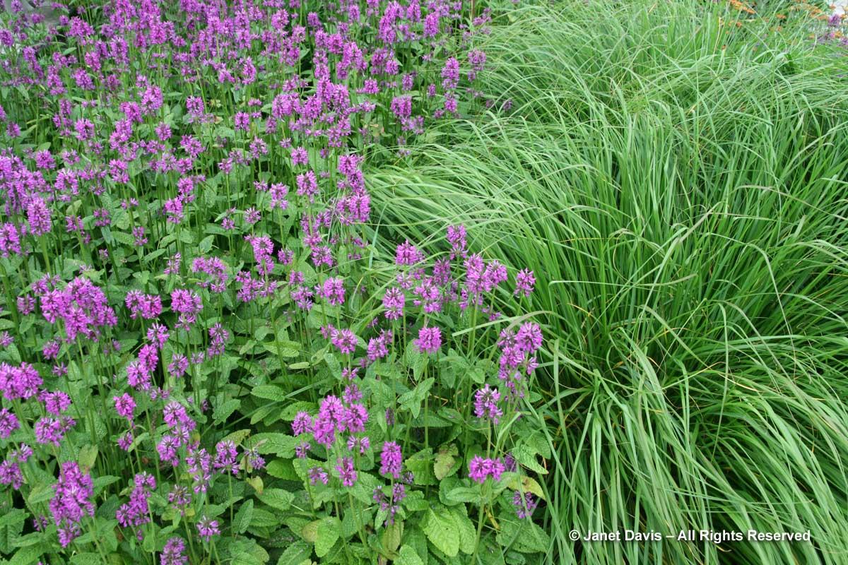 Design-Stachys officinalis 'Hummelo' & Pennisetum alopecuroides 'Cassian'-Piet Oudolf-Toronto Botanical Garden