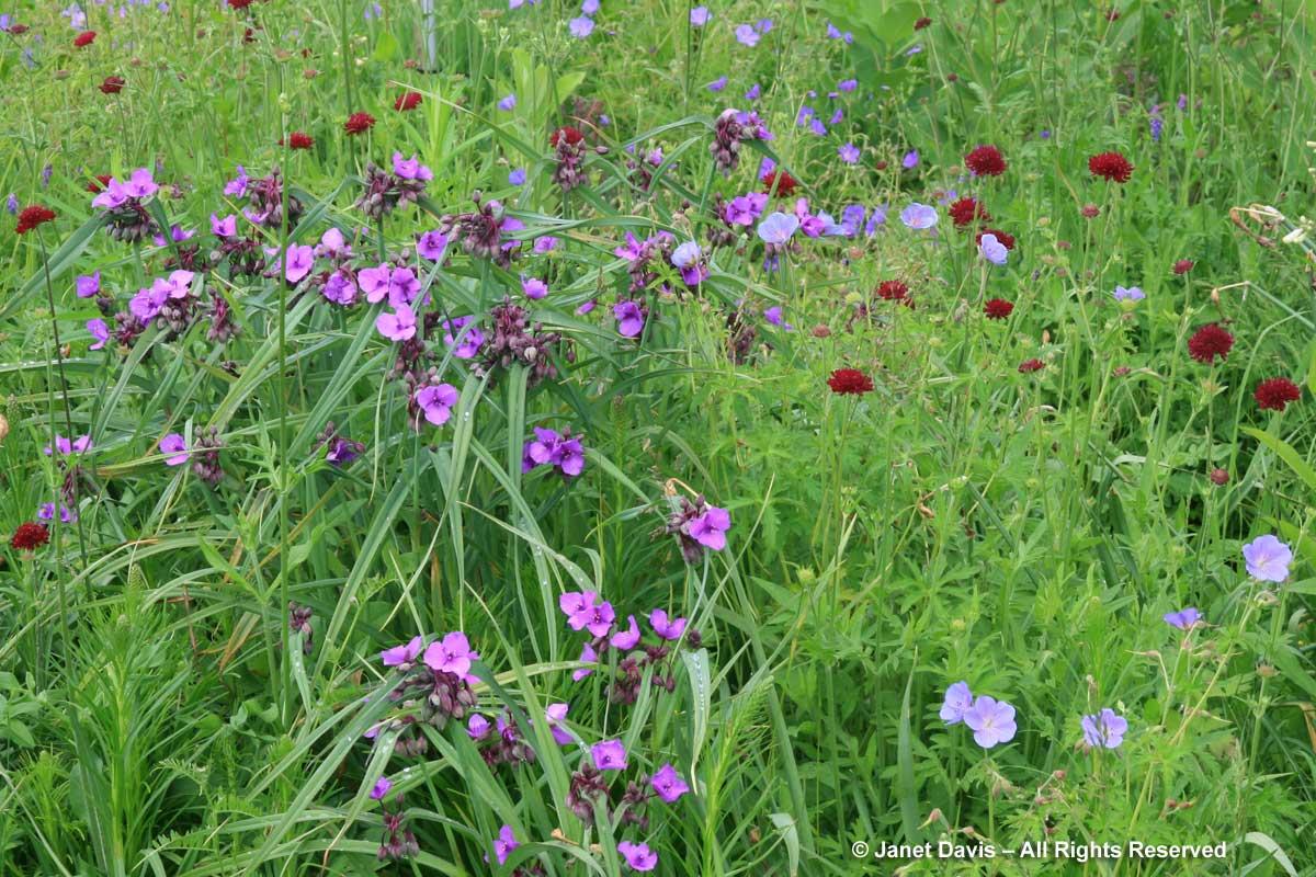 Design-Tradescantia 'Concord Grape' & Knautia macedonica-Piet Oudolf border-Toronto Botanical Garden