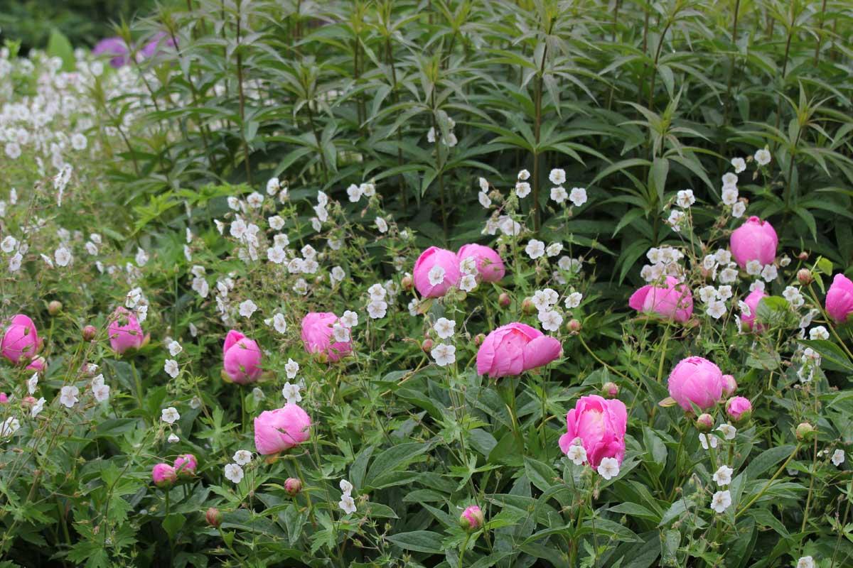 Filler-Geranium phaeum 'Album' & peonies-Piet Oudolf border-Toronto Botanical Garden
