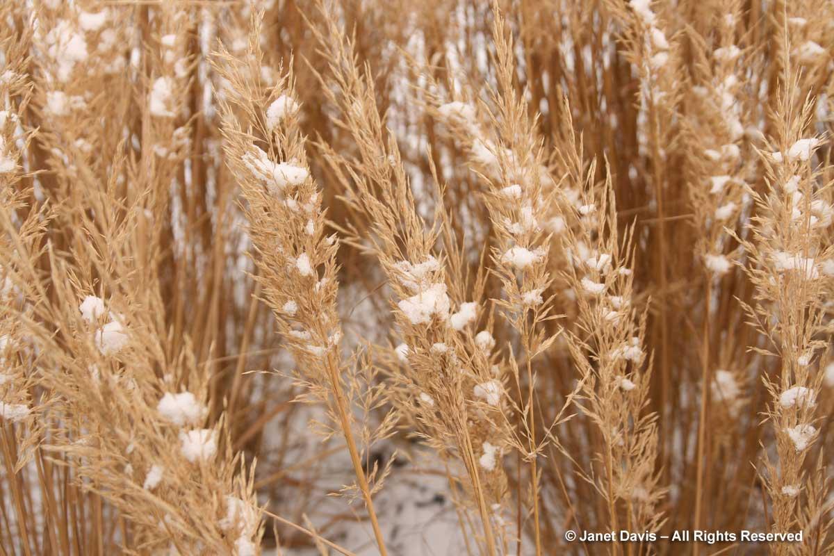 Grasses-Calamagrostis brachytricha-winter-Piet Oudolf border-Toronto Botanical Garden