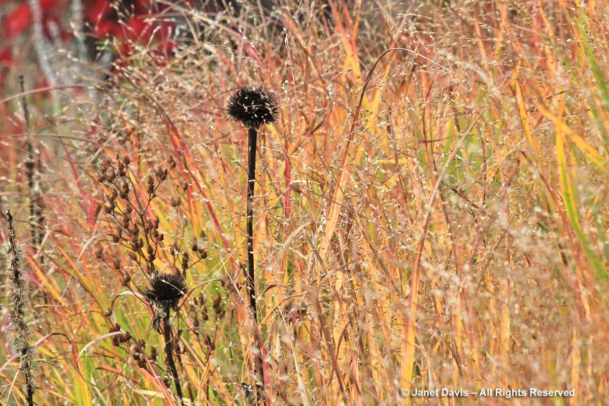 Grasses-Panicum virgatum 'Strictum'