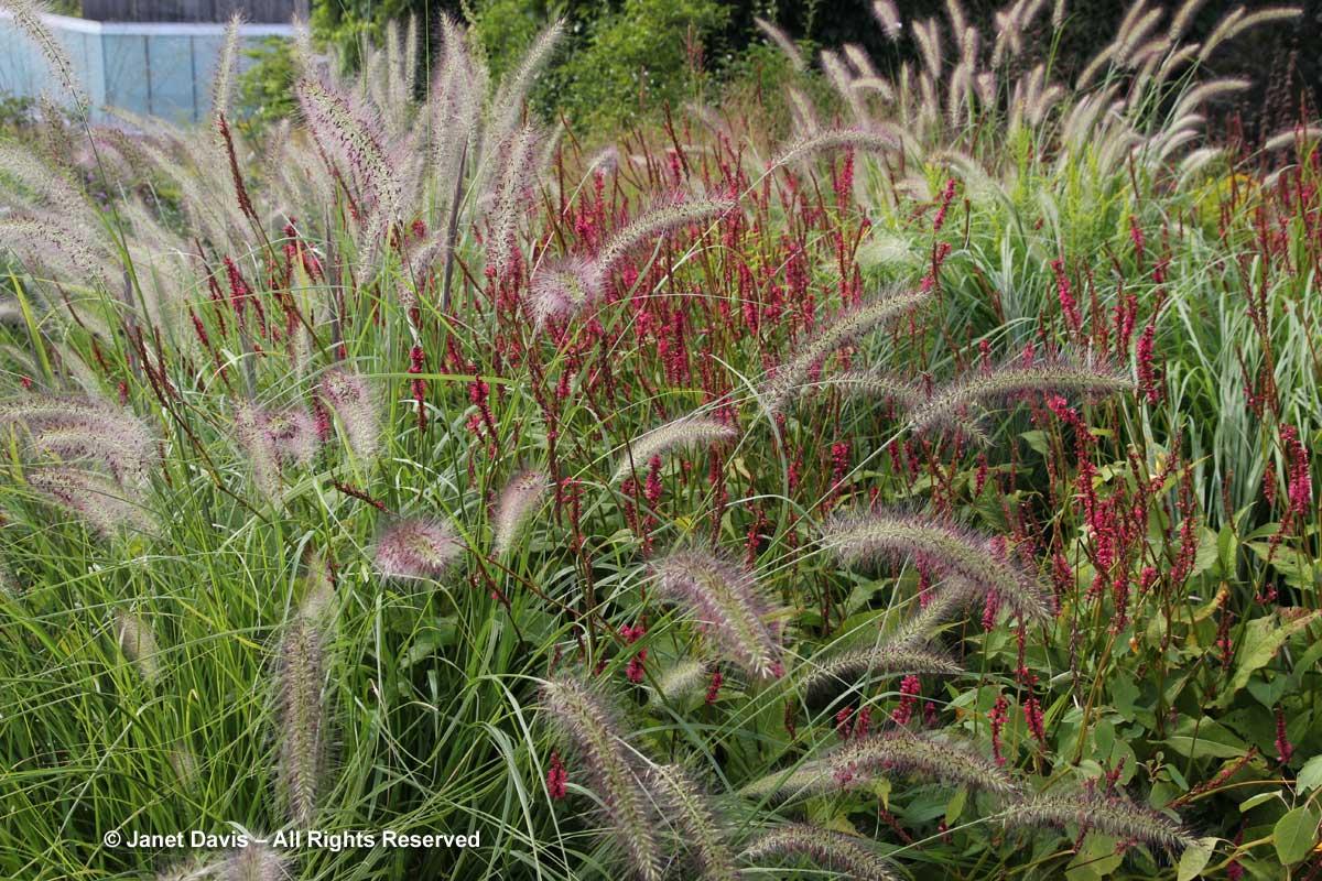 Pennisetum alopecuroides'Cassian' & Persicaria 'Firetail'-Piet Oudolf border-Toronto Botanical Garden