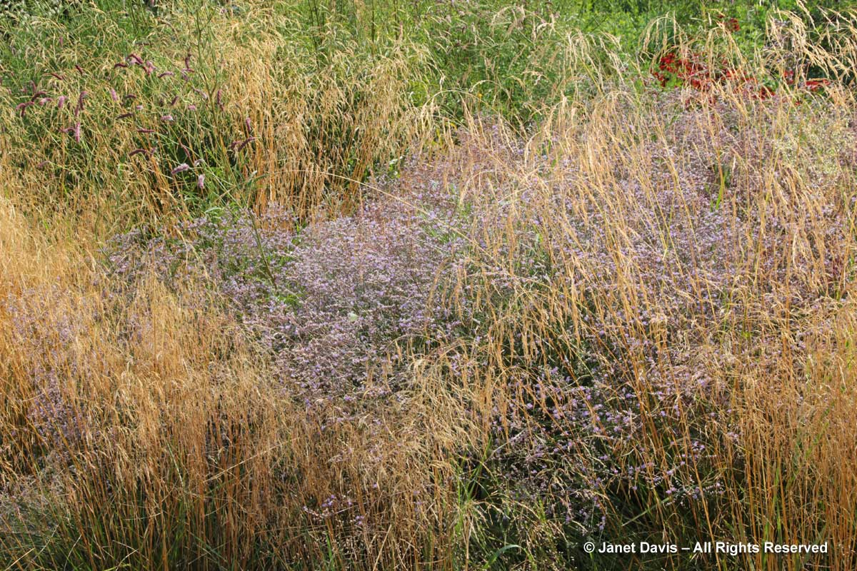 Grasses-Piet Oudolf-Limonium latifolium & Deschampsia caespitosa-Toronto Botanical Garden