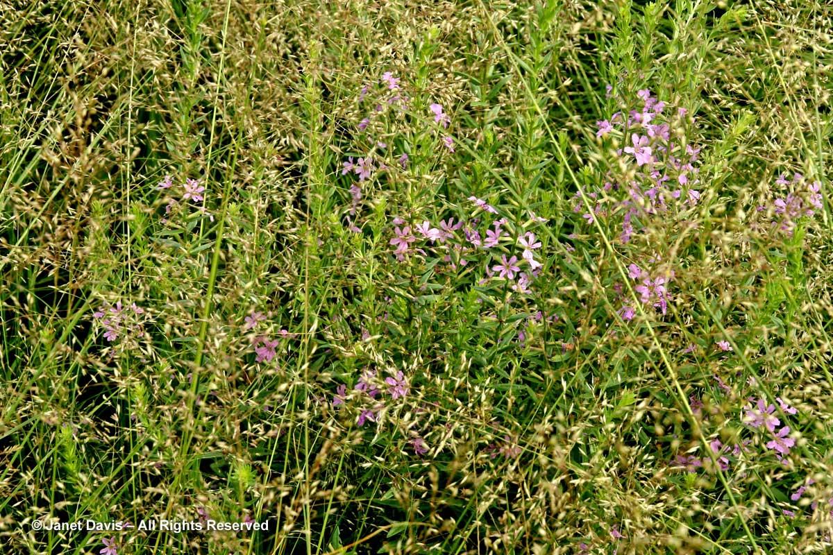 Grasses-Sporobolus heterolepis & Lythrum alatum-Piet Oudolf border-Toronto Botanical Garden