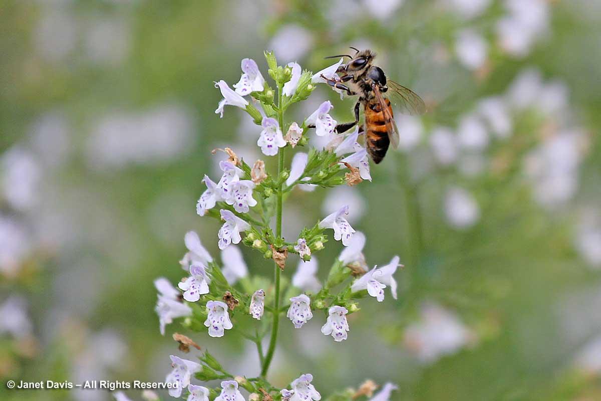Honey bee on Calamintha nepeta ssp. nepeta