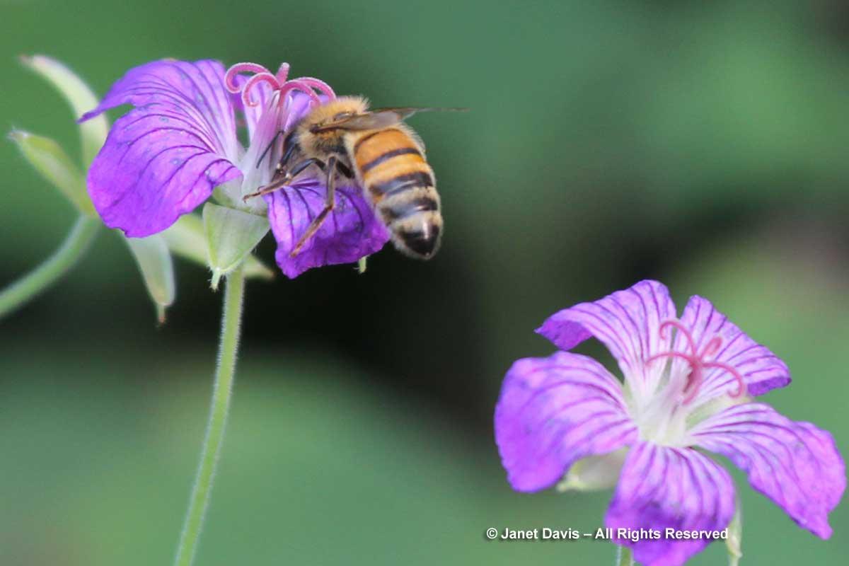 Honey bee on Geranium wlassovianum