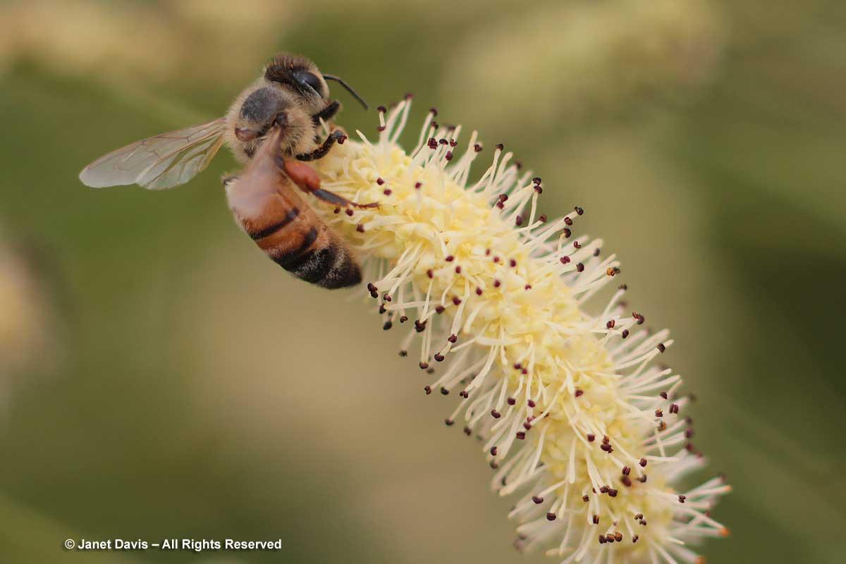 Honey bee on Sanguisorba tenuifolia 'Alba'