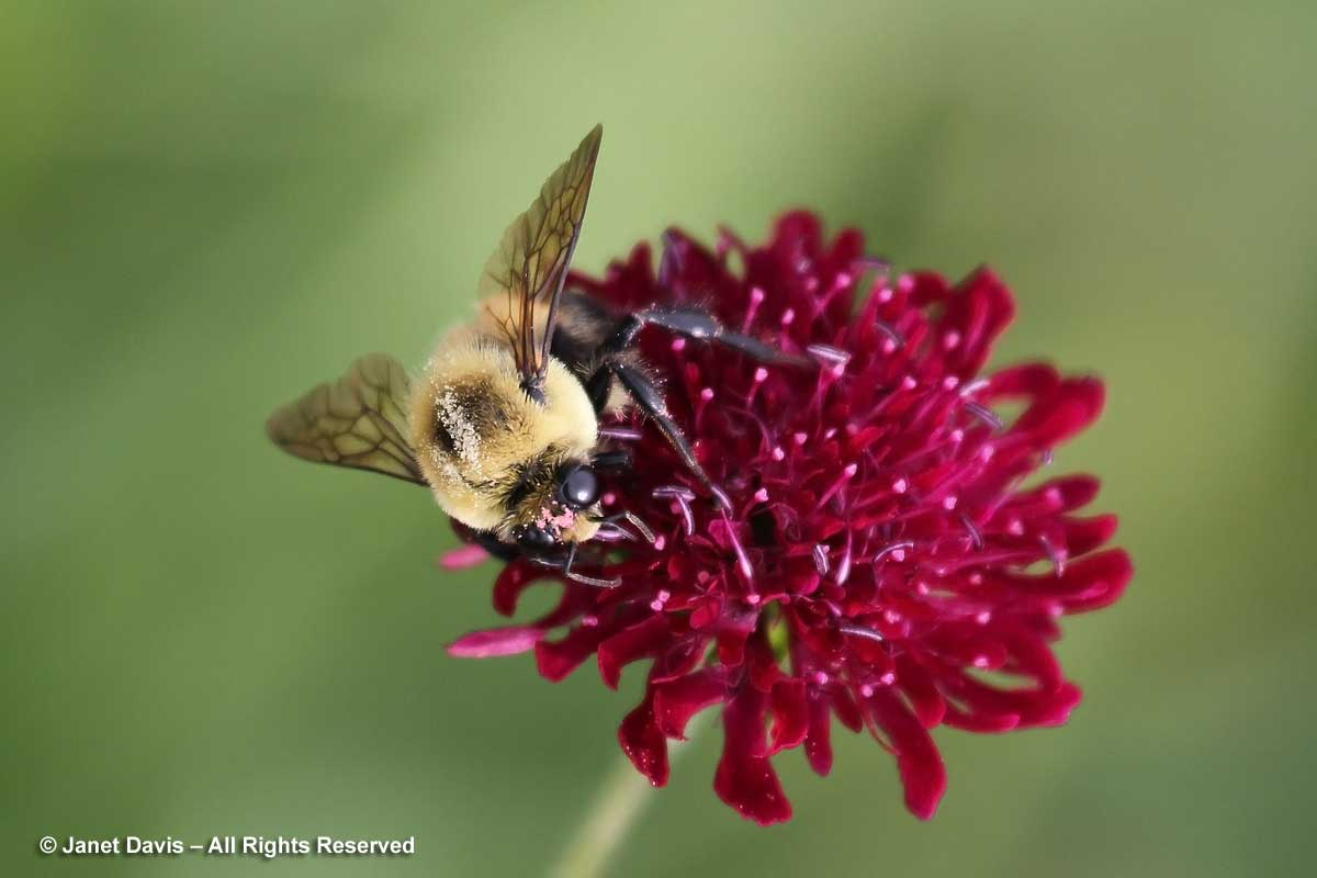 Knautia macedonica with bumble bee-bombus-Piet Oudolf border