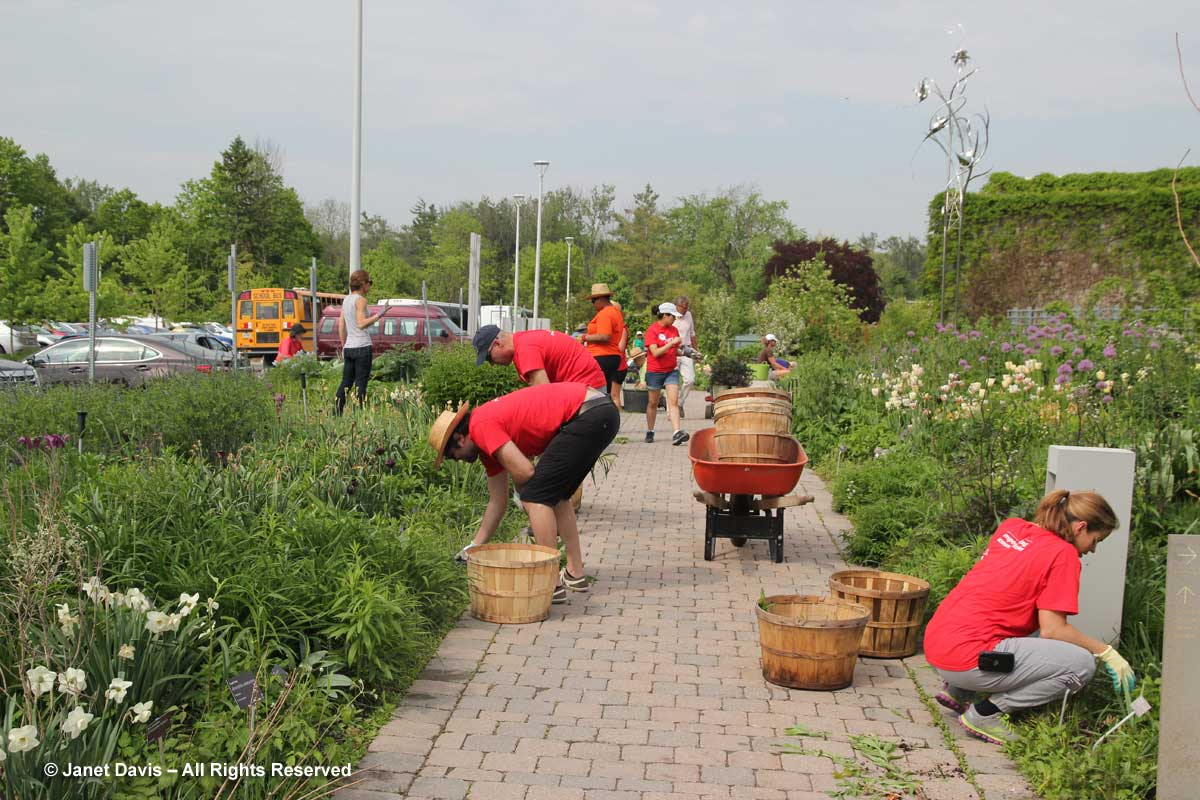 Maintenance-Piet Oudolf Border-Volunteers-Toronto Botanical Garden
