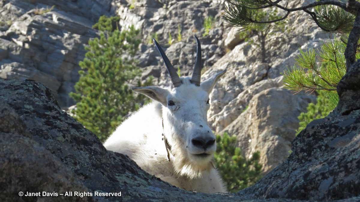 Mountain-goat2-Mount-Rushmo