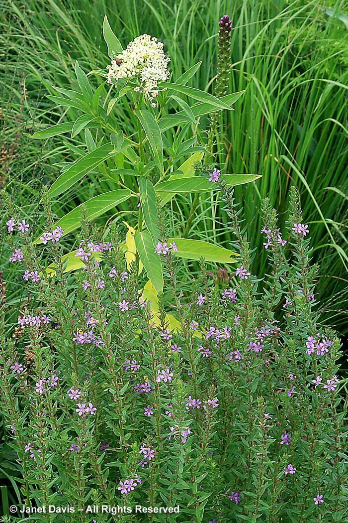 Native wetlanders-Lythrum alatum & Ascelpias incarnata-Piet Oudolf border-Toronto Botanical Garden