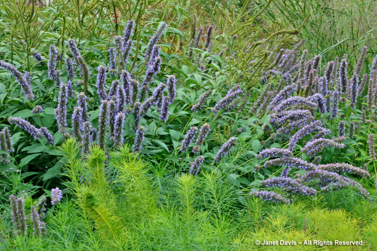 Natives-Agastache foeniculum-Piet Oudolf border-Toronto Botanical Garden