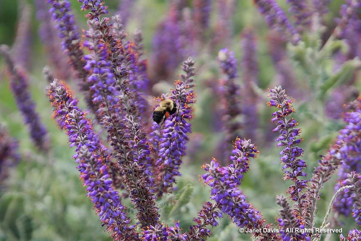 Natives-Amorpha canescens & bumble bee